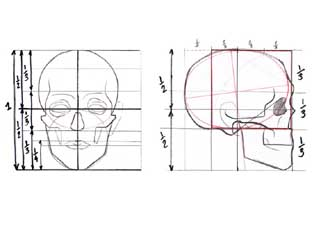 Human head proportions